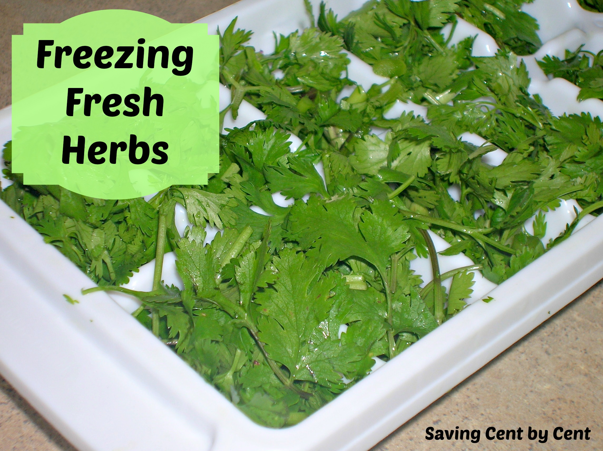 Inspiring Parsley Can You Freeze Coriander Root Freezing Fresh Herbs Freezing Fresh Herbs Saving Cent By Cent Can You Freeze Cilantro houzz 01 Can You Freeze Cilantro