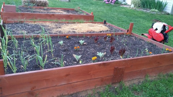 New raised bed built by my neighbor. Contains: garlic, onion, cabbage, cauliflower, and lettuce