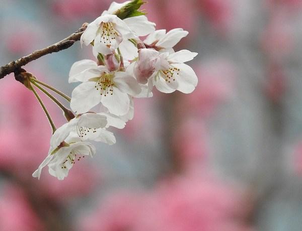 Nikon COOLPIX P900 あかしろきいろ 浜離宮恩賜公園で花見