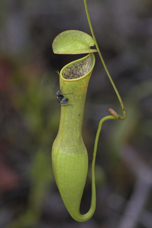 carnivorous plant N. gracilis