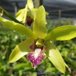Dendrobium Yellow Parrot Buy Dendrobiumorchidsplants Product On