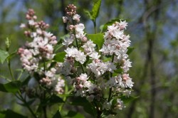 Small Of Beauty Of Moscow Lilac