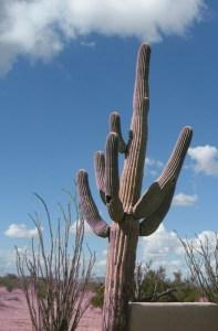 Cactus _Casa Grande_AZ