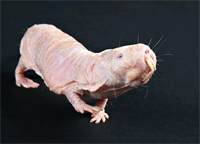 Naked mole rat (image courtesy of Smithsonian's National Zoo)