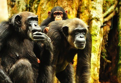 Study confirms: Forms of HIV can cross from chimps to humans