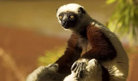 Erosion of traditional 'taboos' threatens Madagascar's lemurs