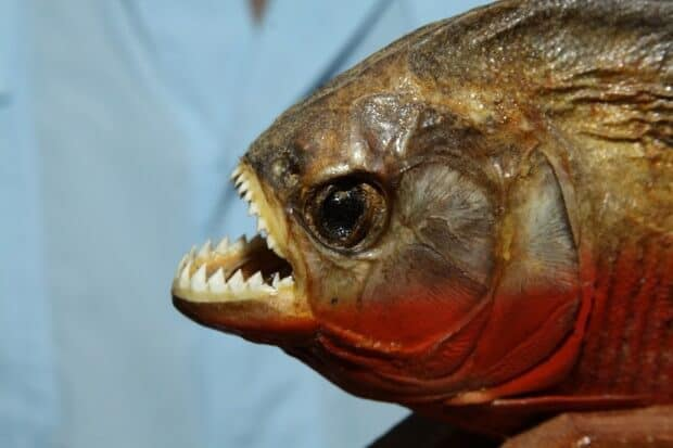Engineers Find Inspiration for New Materials in Piranha-proof Armor