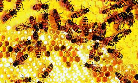 Study strengthens link between insecticides and collapse of honey bee colonies