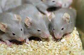 Pheromones in tears of young mice tell older ones: Don't mate with me
