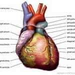 320px-Anatomy_Heart_English_Tiesworks