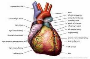 320px-Anatomy_Heart_English_Tiesworks