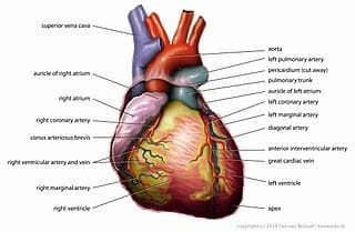 Heartbeats link mind and body together