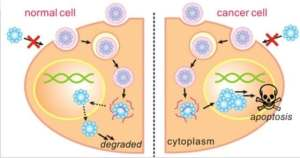A diagram of the synthesis of degradable nanocapsules into cell nuclei to induce apoptosis, or programmed cell death, in cancer cells. The nanocapsules degrade harmlessly in normal cells. (Courtesy of UCLA Engineering)
