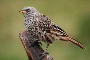 320px-Weaver_bird