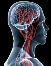 1138497161_brain vascular web_3870_300x386