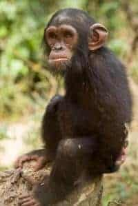 Young apes manage emotions like humans