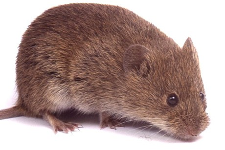 On genetic treasure island, voles show DNA antiquity