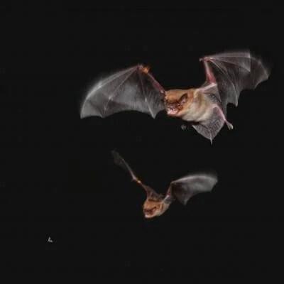Big brown bat males call 'dibs' on food