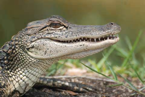Biodiesel from gator fat with less waste