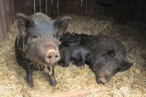 family-of-pigs