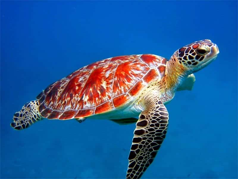 Sea turtles 'lost years' mystery starts to unravel