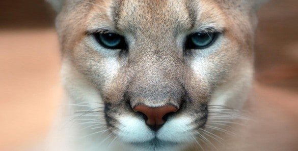 Cougars' diverse diet helped them survive extinction that killed saber-tooth, American lion