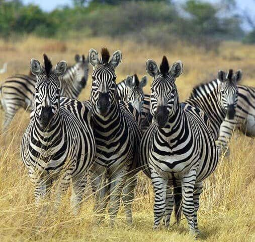 Africa's Longest-Known Terrestrial Wildlife Migration Discovered