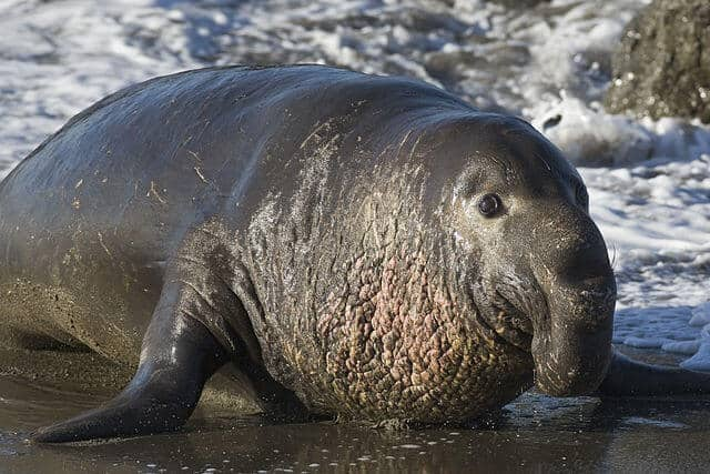 Elephant seals' carbon monoxide levels are as high as heavy human smokers'