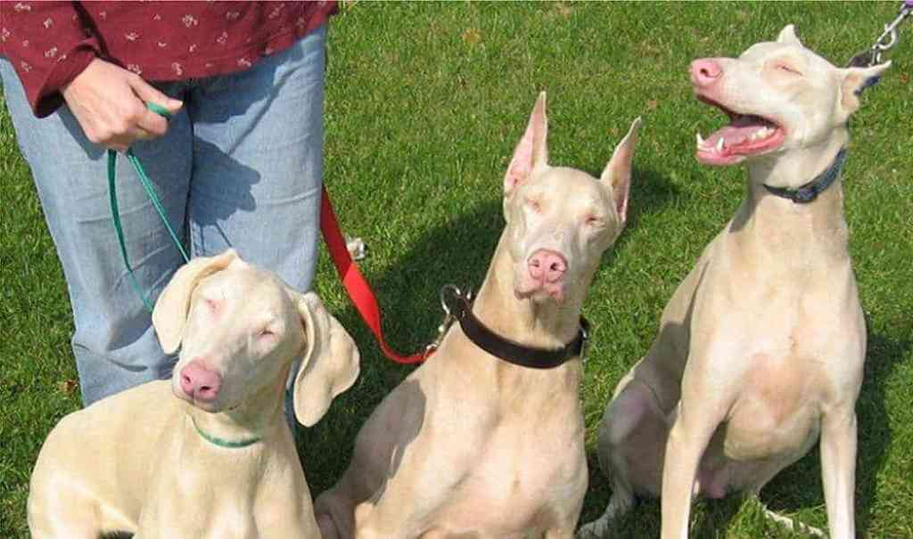 Man's best friend shares similar 'albino' gene