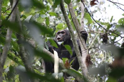 Thieving chimps changing the way African farmers feed their families