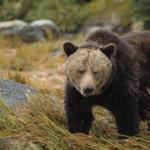 Study led by indigenous people uncovers grizzly bear 'highway'