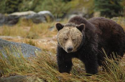 First Nations study uncovers grizzly bear 'highway'