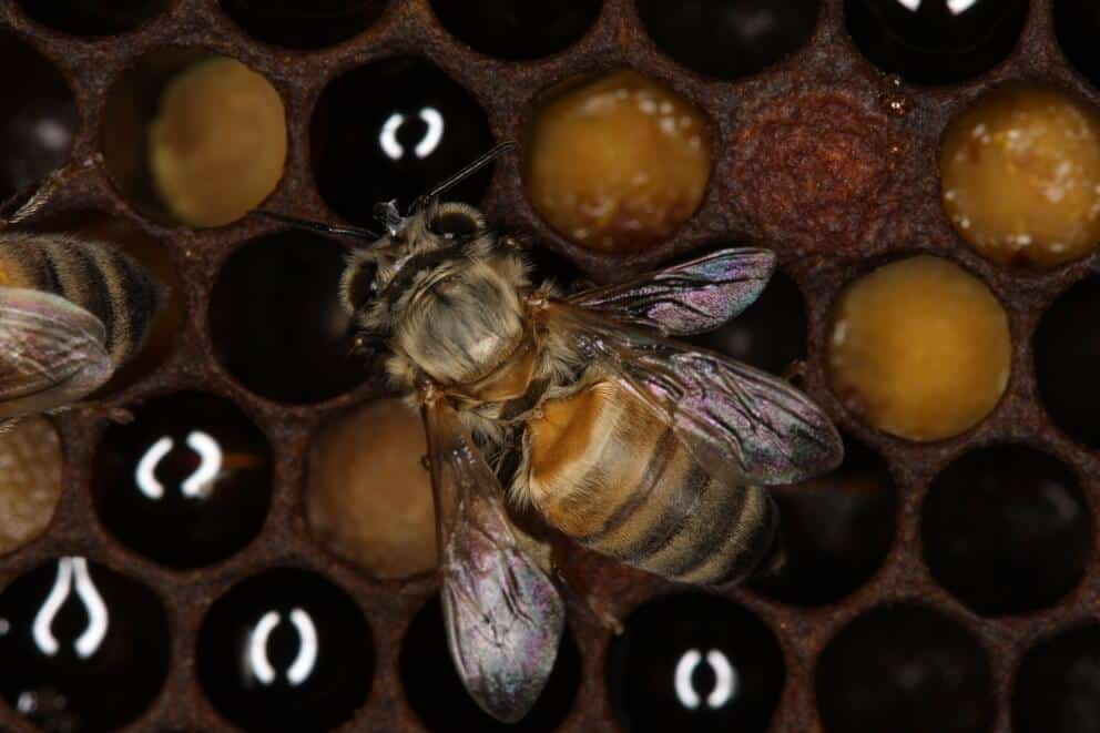 Parasite-free honey bees enable study of bee health