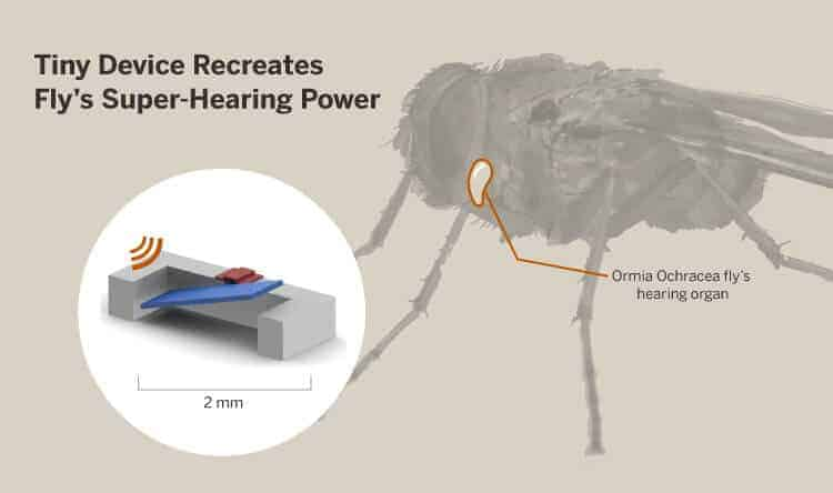 Fly's Super-Hearing Power Could Aid Humans