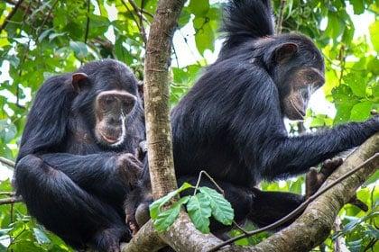 Lowly 'New Girl' Chimps Form Stronger Female Bonds