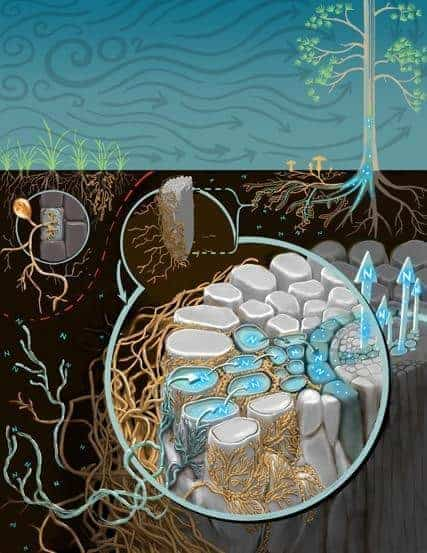 Plant growth responses to high CO2 depend on symbiotic fungi