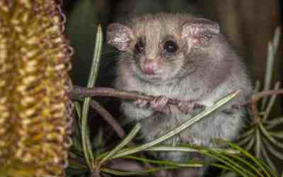Hibernating pygmy-possums can sense danger even while dormant
