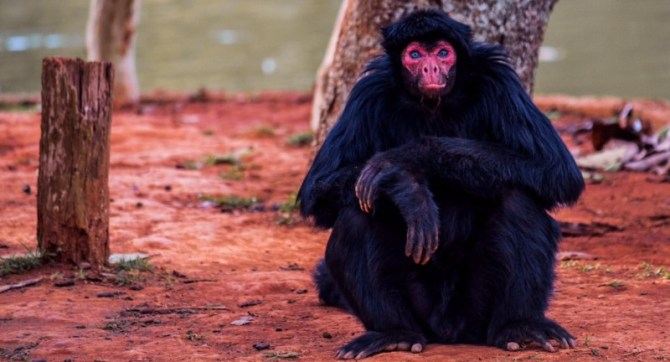 Red-face spider monkey