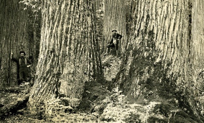 Giant American chestnut trees
