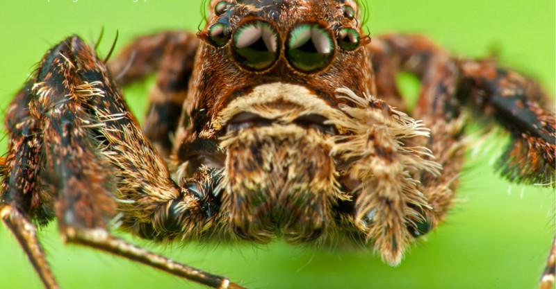 Spiders -- Assassin Spider, Camel Spider, Diving Bell Spider, Portia, Bagheera Kiplingi, Tiger Spider, Mirror Spider, Peacock Spider, Trapdoor Spiders, Etc