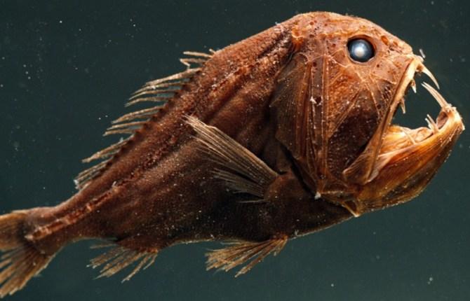 Fang-tooth fish