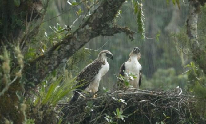 Philippine eagle Nest pair