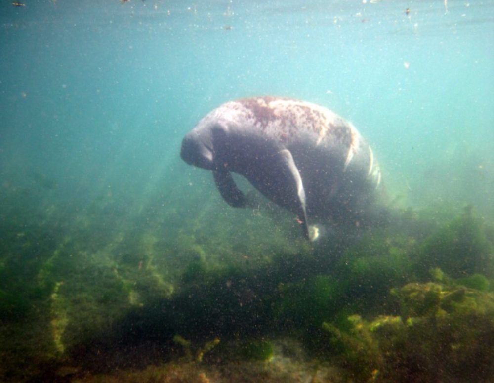 Manatees — Description, Pictures, Behavior, Lifespan, & Folk Stories