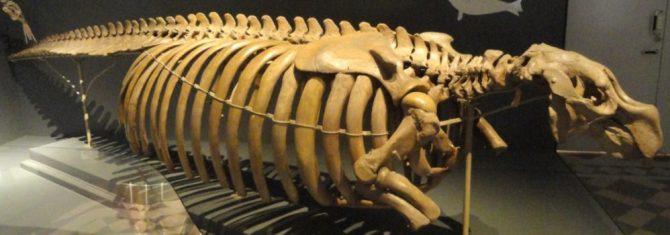Skeleton Stellar's sea cow