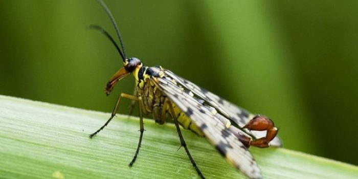Mystery creature revealed – the scorpion fly