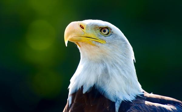 Eagle-Face-Close-Up