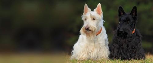 Medium Of All Terrier Rescue