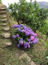 CT Mont hydrange lemon steps