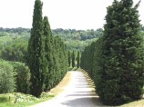 Tree lined road to Sovestro in Poggio winery