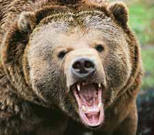 Boy Scout Image -- Bear